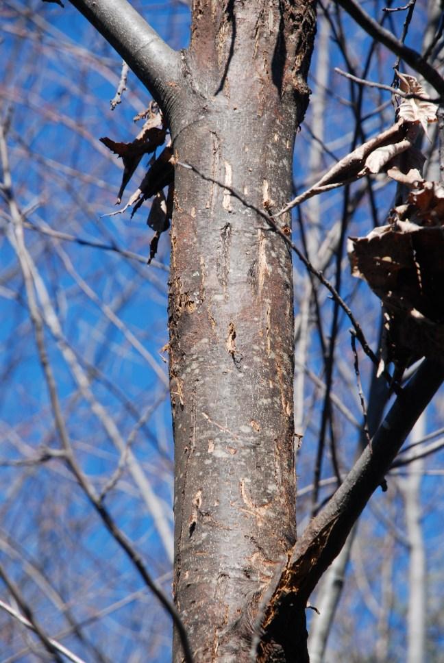 american chestnut bear