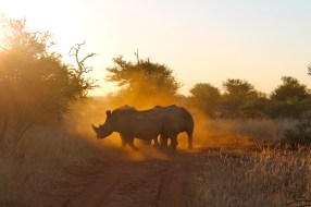 Rhinos at dawn