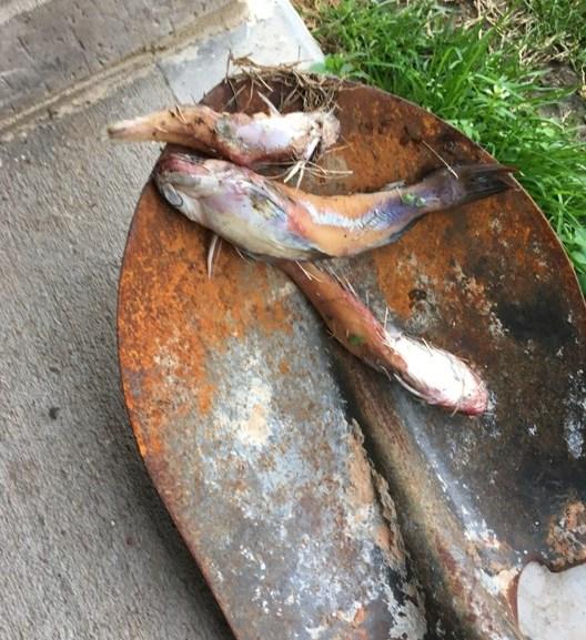 More Fish Fall at Fulshear
