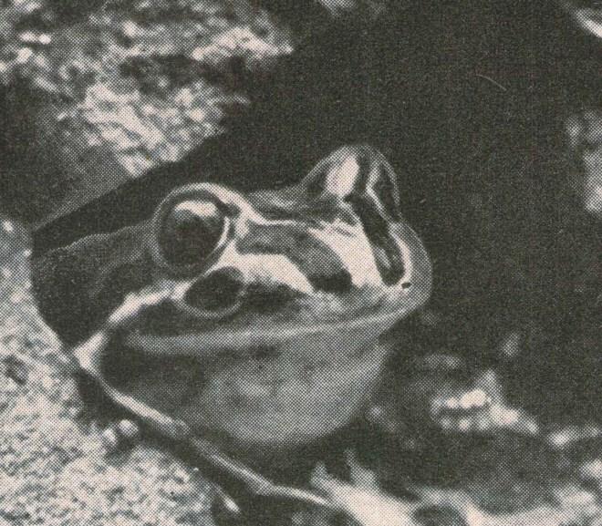 Oz Frogs In Rocks
