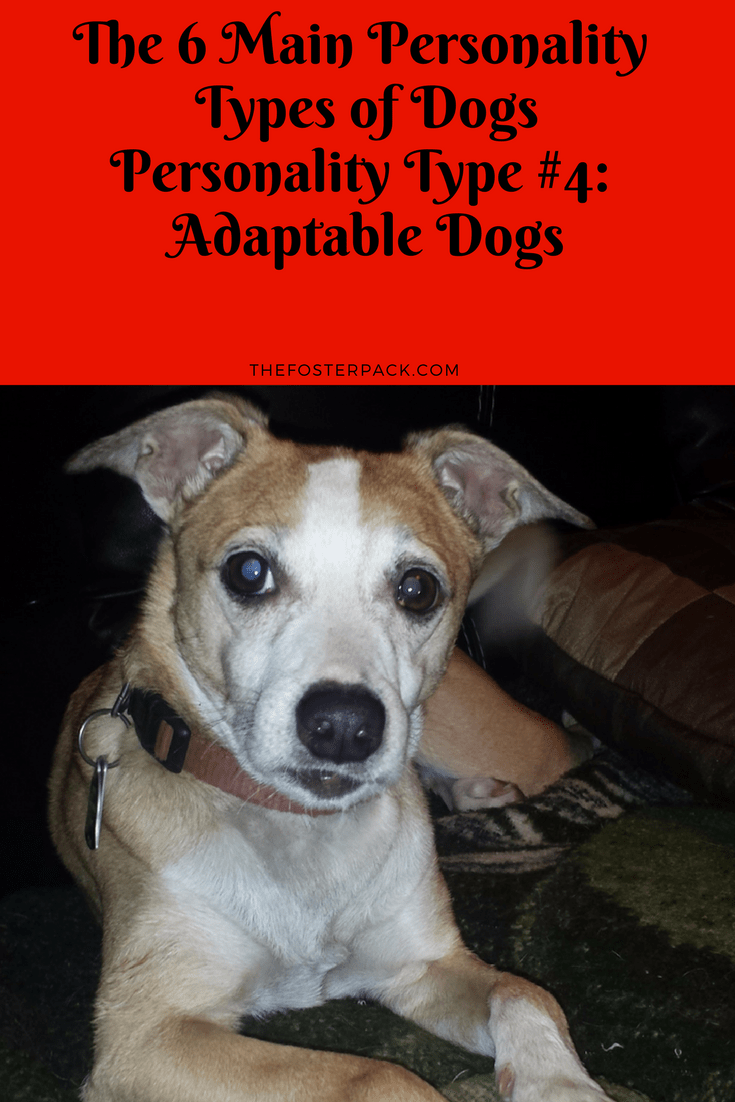 Personality Type #4: Adaptable Dogs