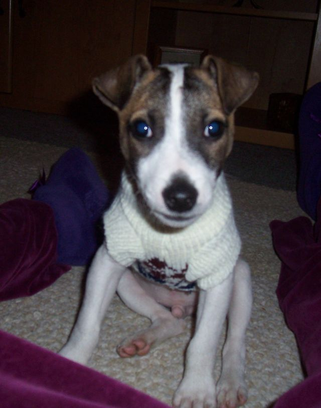 Jackyl, 12 weeks, the Jack Russell Terrier