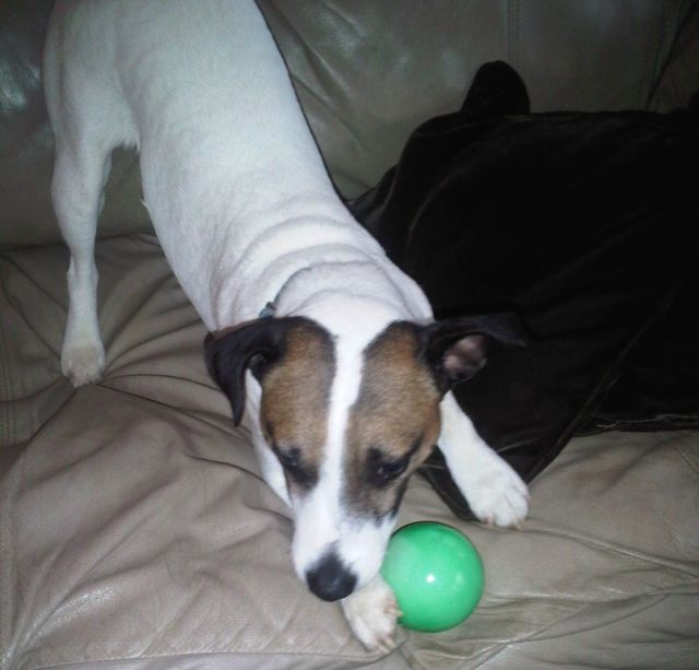 Jackyl, 4 years, the Jack Russell Terrier