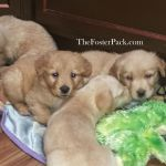 5 wk old Foster puppies