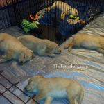 9 wk old Foster puppies