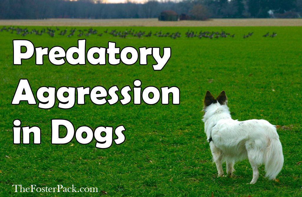 Predatory Aggression in Dogs