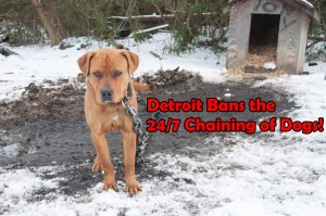 Detroit Bans the 24/7 Chaining of Dogs!