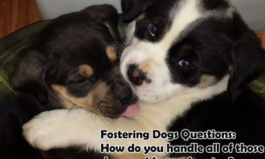 Fostering Dogs Questions: How do you handle all of those dogs and foster dogs too?