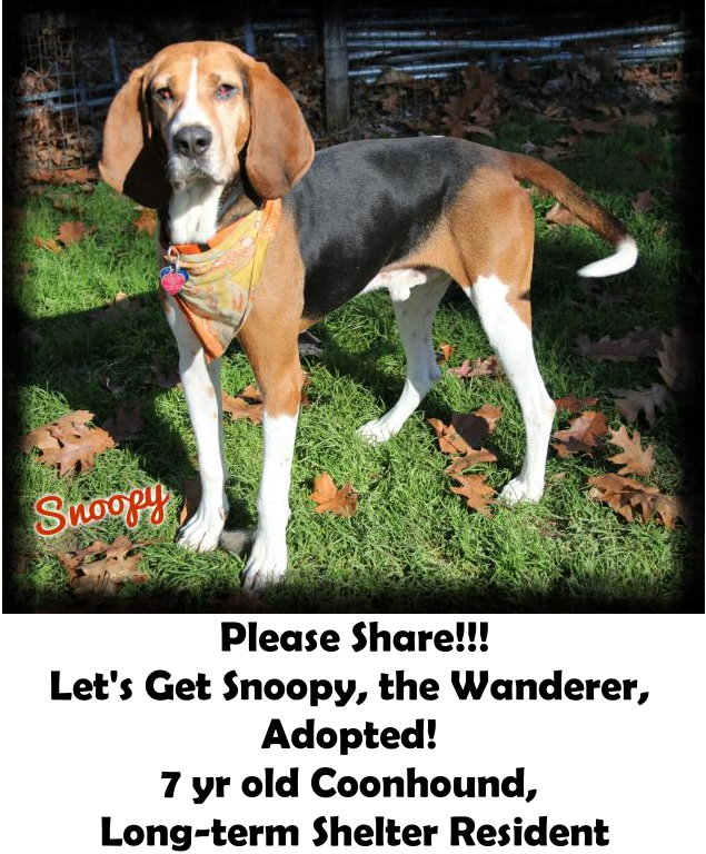 Let's Get Snoopy, the Wanderer, Adopted! 7 yr old Coonhound