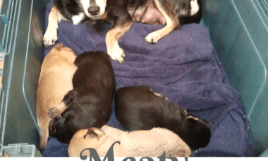 Meaty, The Life of a Former Breeding Dog