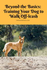 Training Your Dog to Walk Off-leash