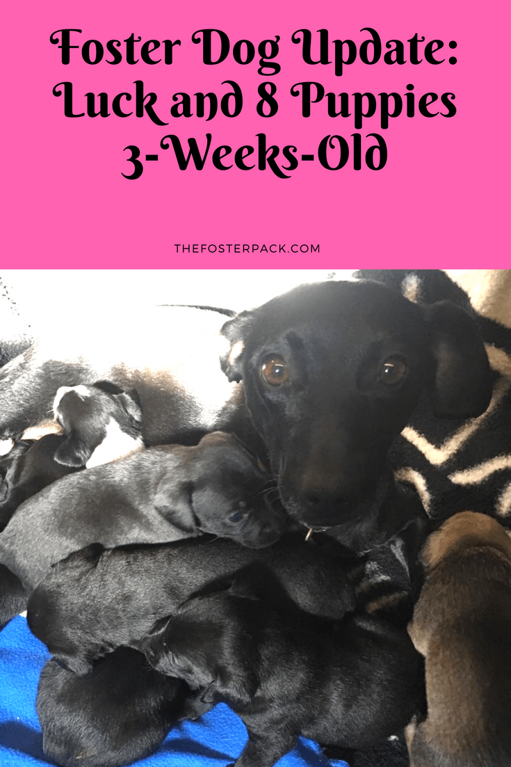 Foster Dog Update: Luck and 8 Puppies 3-Weeks-Old