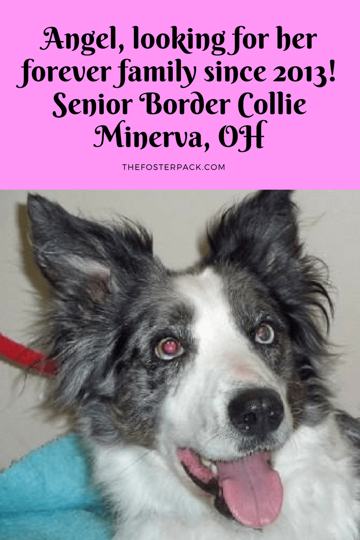 Angel, looking for her forever family since 2013! Senior Border Collie