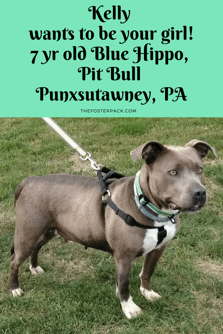 Kelly wants to be your girl! 7 yr old Blue Hippo, Pit Bull Punxsutawney, PA