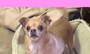 Pixie 12 yr Chihuahua mix