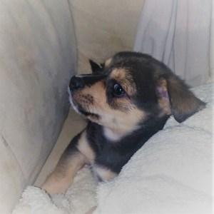 Jett, 7 weeks old