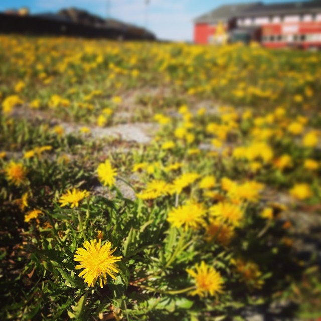 flower dandelion greenland