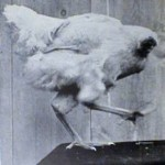 Mike The Headless Chicken