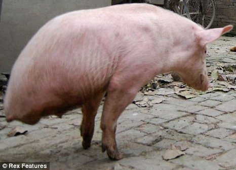 Pig with only 2 legs