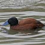 You'll never guess what lies beneath this duck