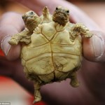 Two-headed tortoise born in Slovakia