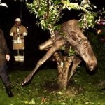 Drunk Moose Found in Tree