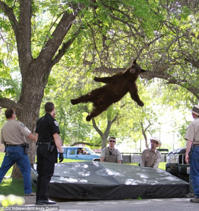 Bear falls out of tree