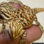 The vegetarian and meat eating two headed lizard