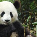 Panda fakes pregnancy to receive treats