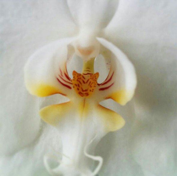 tiger-face-orchid