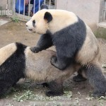 Panda Sex Record