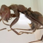 Ant Suicide Bombers