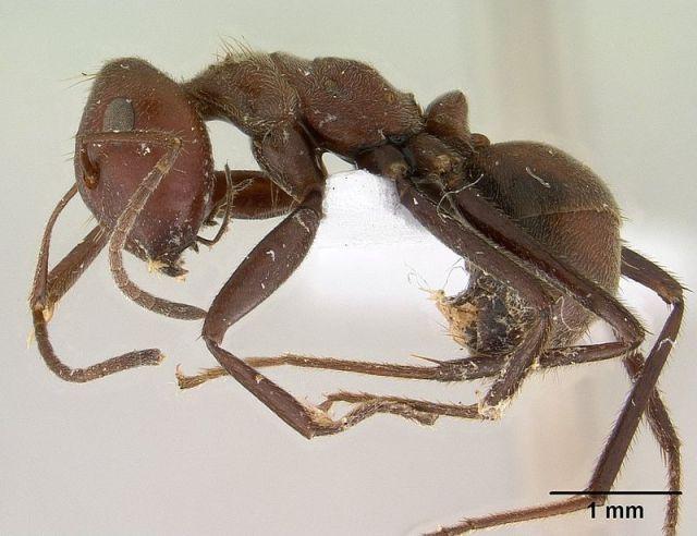 Camponotus saundersi specimen