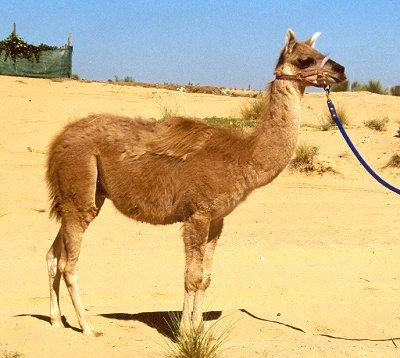 camel llama cross breed