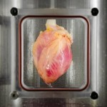 Lab Grown Heart