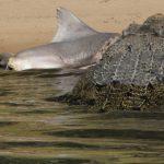 The Alligators That Eat Sharks