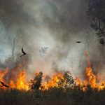 Falcons Deliberately Start Fires To Catch Prey Claims Expert