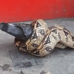 Snake found eating pigeon on London street