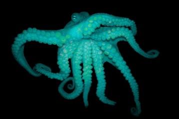 ecstasy octopus