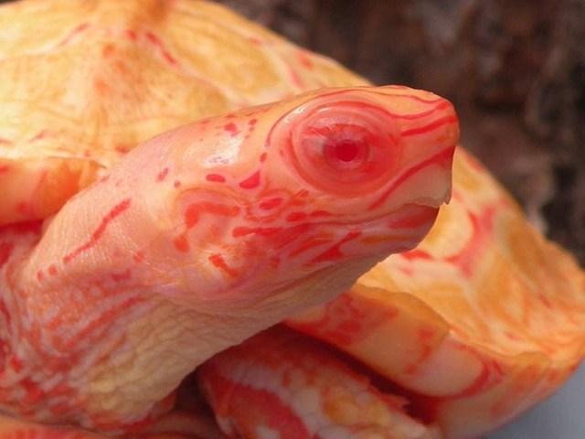 Rare Albino Turtle