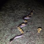 Toads ride on a python's back to escape storm (video)