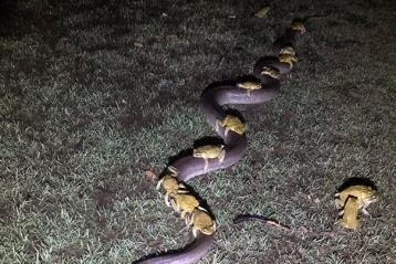 frogs riding a snake