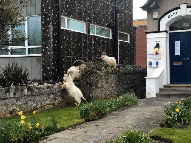 Town Invaded by Goats as Corona Lockdown hits Wales