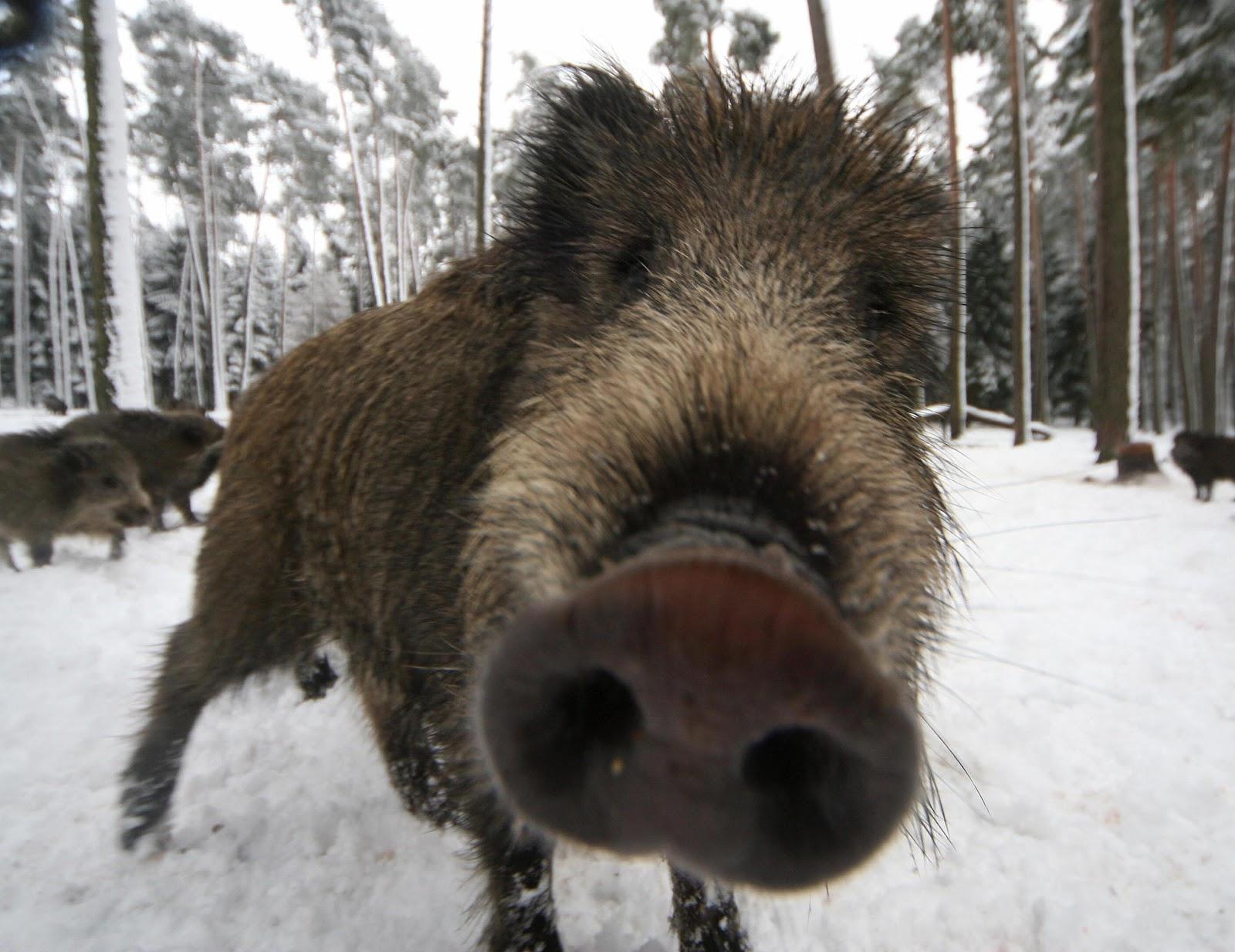 wild boar cocaine