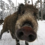 Wild Boars Destroy Albanian Cocaine Gang's Drug Stash