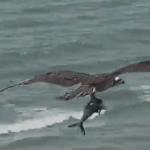 Bird Catches Shark (freaky video)