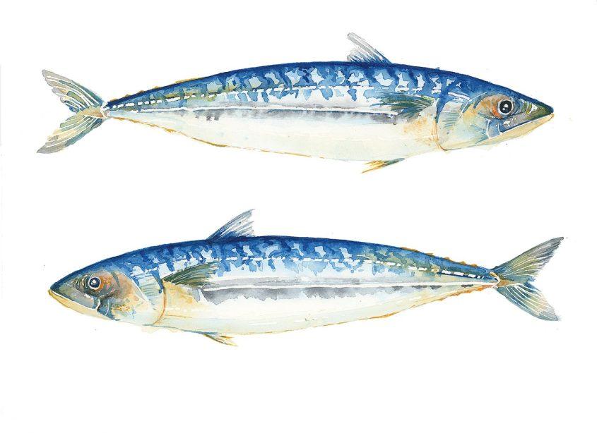 Fisherman killed by Mackerel