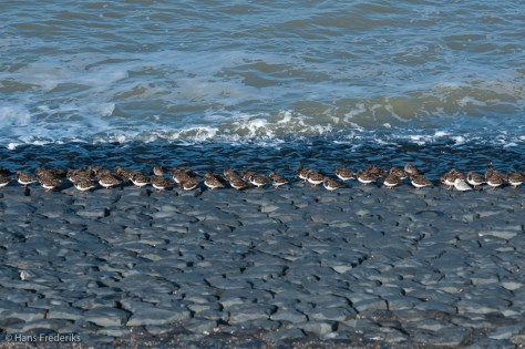 Steenlopers op de dijk / Ruddy Turnstones on the dyke.