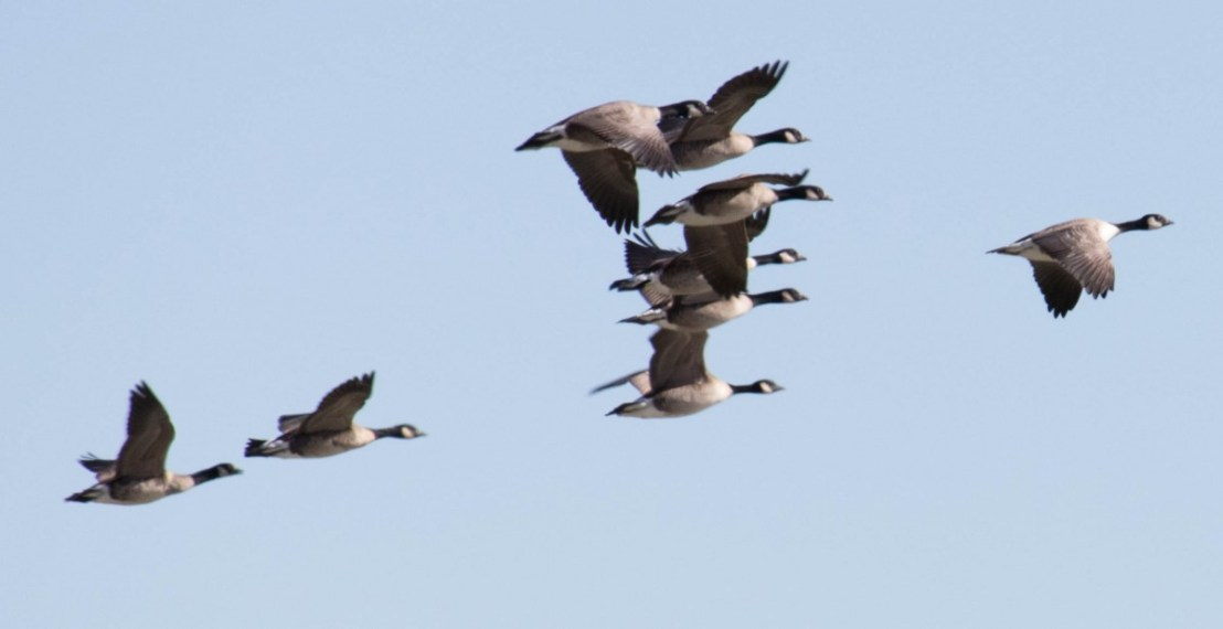 Canadian Geese in Formation Preparing to Land