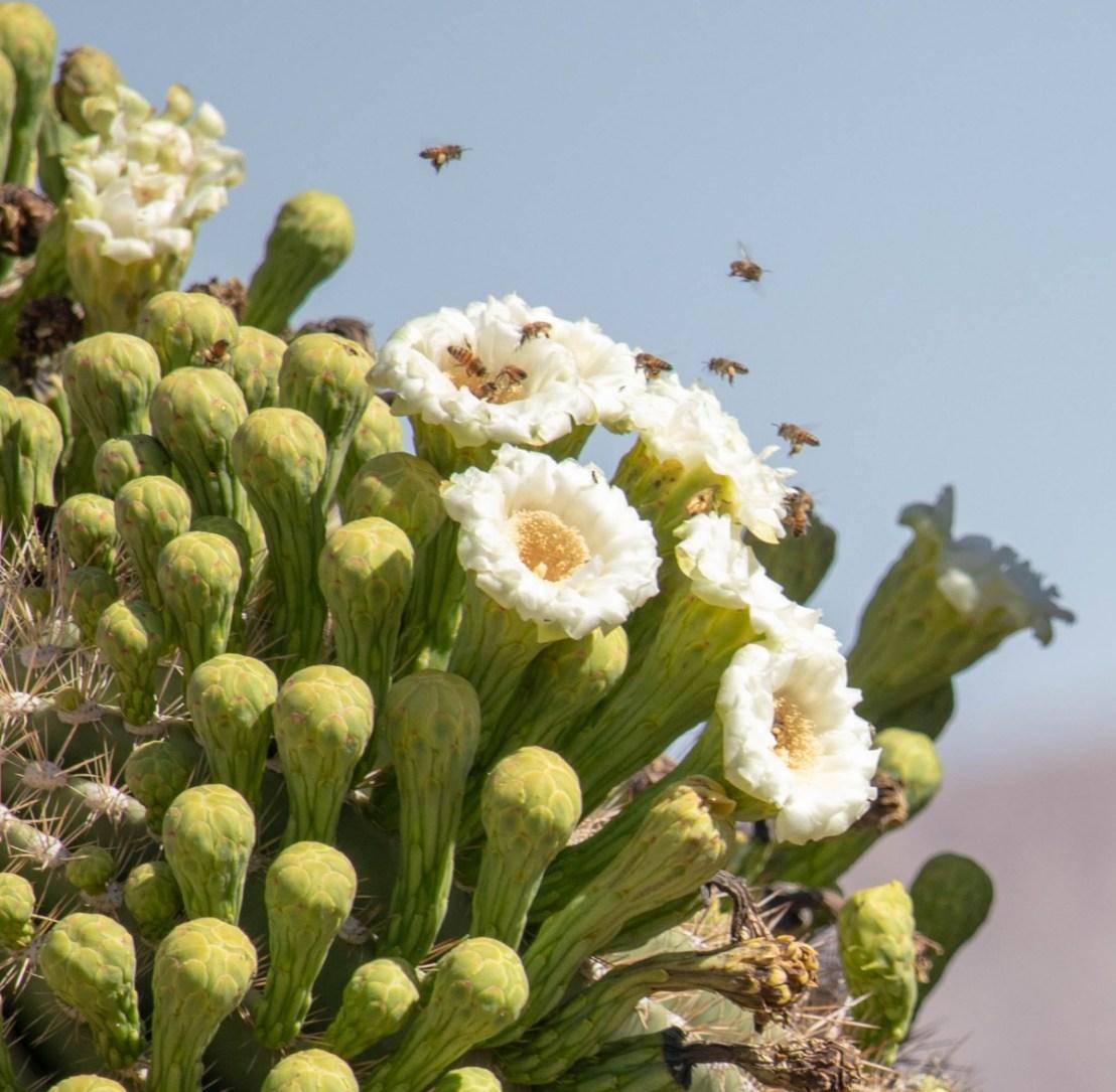 Pollinators on Saguaro Cactus Blooms